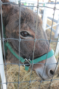 Indifferent Donkey